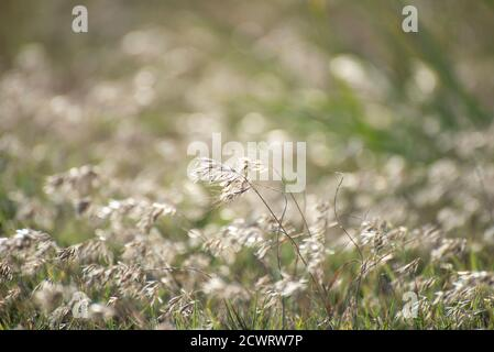 Feather grass (Stipa) growing in the meadow - Stock Photo