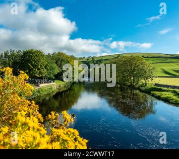 View up the River Wharfe from Burnsall bridge with green fields, yellow ragwort flowers and blue sky, Yorkshire Dales National Park, UK