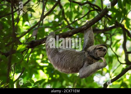 Funny sloth hanging on tree branch, cute face look, perfect portrait of wild animal, Rainforest of Costa Rica, scratching chin, Bradypus variegatus