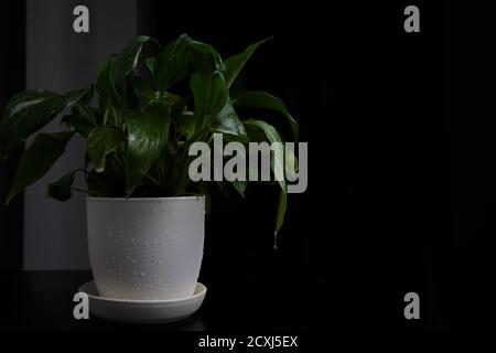 Spathiphyllum flower stands on a table on a black background - Stock Photo