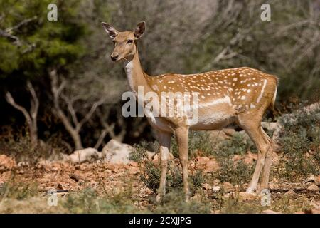 Female Mesopotamian Fallow deer (Dama mesopotamica) Photographed in Israel Carmel forest in August - Stock Photo