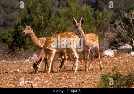 Herd of  Mesopotamian Fallow deer (Dama mesopotamica) Photographed in Israel Carmel forest This is a breading nucleus in the process of reintroduction - Stock Photo