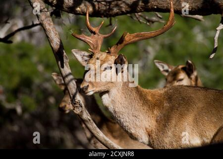 Male Mesopotamian Fallow deer (Dama mesopotamica) Photographed in Israel Carmel forest. This is a breading nucleus in the process of reintroduction to - Stock Photo