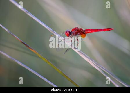 Scarlet Dragonfly - Crocothemis erythraea, beautiful red dragonfly from European swamps, fresh waters and sea coasts, Pag island, Croatia. - Stock Photo