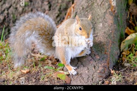 Brandon Hill Park, Bristol, UK. 1st Oct, 2020. A squirrel forages for food in Brandon Hill on a sunny Autumn day. Credit: JMF News/Alamy Live News - Stock Photo