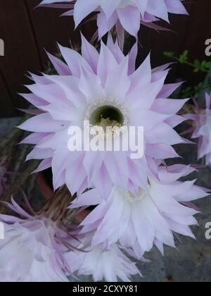 Selenicereus grandiflorus open flower cactus from antilles