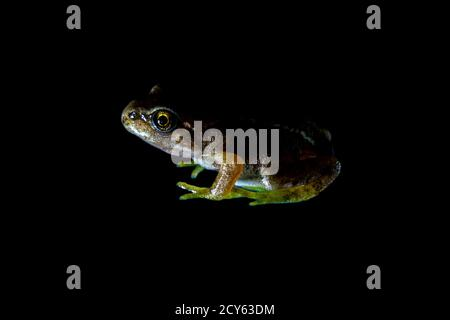Froglet of the Common Frog (Rana temporaria) Cut Out on Black Background - Stock Photo