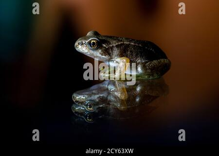 Froglet of the Common Frog (Rana temporaria) with Reflection - Stock Photo
