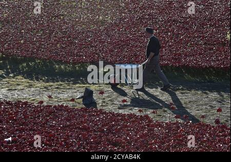 A volunteer removes ceramic poppies as work begins to dismantle the art installation 'Blood Swept Lands and Seas of Red' at the Tower of London in London November 12, 2014. REUTERS/Toby Melville (BRITAIN - Tags: CONFLICT MILITARY ENVIRONMENT) - Stock Photo