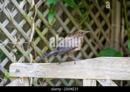 Close up of Juvenile Young Blackbird brown feathers perched on wooden surround in summer sun - Stock Photo