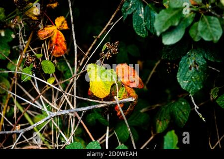 leaves turning red and orange on tree branches amidst green leaves, signs of fall, autumn is coming - Stock Photo