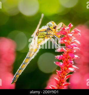 Dragonfly on pink flower green background nice bokeh