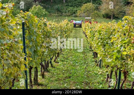 Tractor in vineyard during autumn harvest - Stock Photo