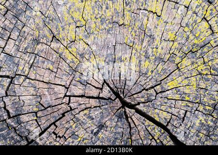 cracked slice of old stump for backdrop texture background