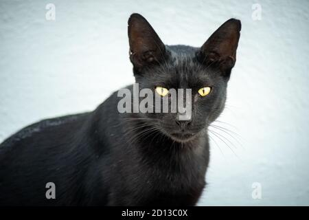 Close-up of a black cat with yellow eyes lying on a white background. it is looking at the camera