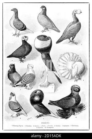 A late 19th Century chart illustrating pigeons of the family Columbidae. These are stout-bodied birds with short necks, and short slender bills that in some species feature fleshy ceres. They primarily feed on seeds, fruits, and plants. The family occurs worldwide, but the greatest variety is in the Indomalayan and Australasian realms.