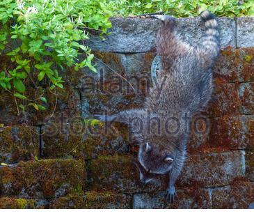 A raccoon climbs on a retaining wll in photographers backyard. - Stock Photo