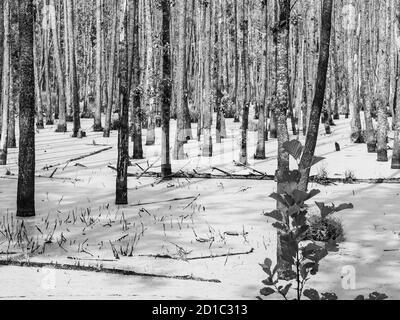 Wet forest swamp full of algae. Black and white image. - Stock Photo
