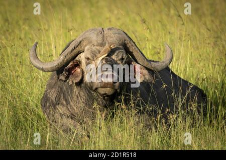 Buffalo lying in green grass with red billed ox pecker sitting on its nose in Masai Mara in Kenya