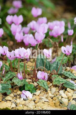 Cyclamen hederifolium. Ivy-leaved cyclamen. Neapolitan cyclamen sowbread. Cyclamen neapolitanum - Stock Photo