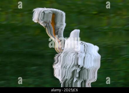 Abstract reflection of Dalmatian pelican (Pelecanus crispus) preening feathers in water of pond - Stock Photo