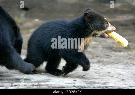 A three-month-old Spectacled Bear (Tremarctos Ornatus) makes its first public appearance at the Buenos Aires' zoo January 16, 2007. The Spectacled Bear is also known as the Andean Bear. REUTERS/Enrique Marcarian (ARGENTINA) - Stock Photo