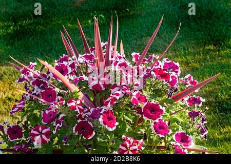 Spikes of leaves on perennial red cordyline australis plant in pot poking out from surround of a colourful display of annual petunia garden flowers UK - Stock Photo