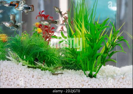 Guppys swimming in a fishbowl with clean white little stones and artificial water plants. - Stock Photo