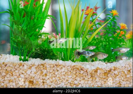Guppys swimming in a fishbowl with dirty white little stones and artificial water plants. - Stock Photo