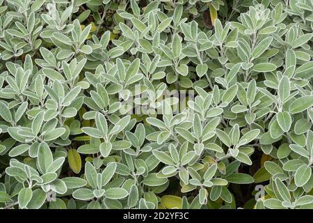 Brachyglottis greyi, also called Senecio greyi, with the common name daisy bush. A shrub with grey down-covered foliage in October or autumn. - Stock Photo