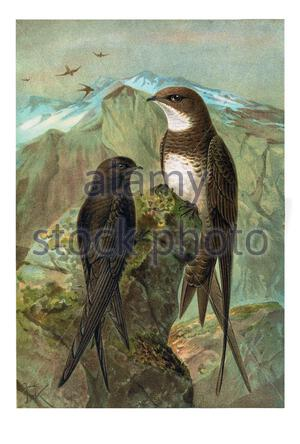Vintage birds of Europe and the Middle East - Swift  (Apus apus) - Stock Photo