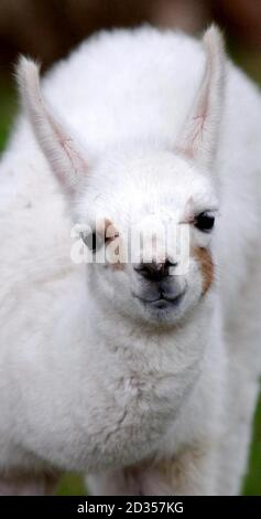 A 2 week-old llama at Sewerby Hall and Country Park near Bridlington, East Yorkshire.  - Stock Photo
