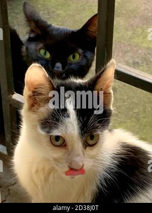 Two funny homeless cats, black cat mother with green eyes and little white grey kitten stuck out his tongue. Stock Photo