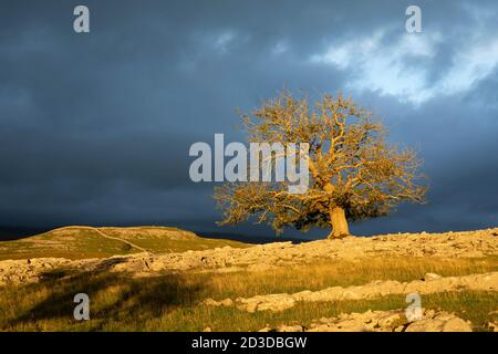 Gnarled Ash tree on Limestone Pavement at Pott Scar with view to Smearsett Copys, Feizor, North Yorkshire, Yorkshire Dales National Park. Summer (Sept