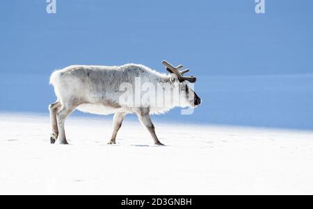 Reindeer, Rangifer tarandus, walking through the snow of Svalbard. Side profile with space for text. - Stock Photo