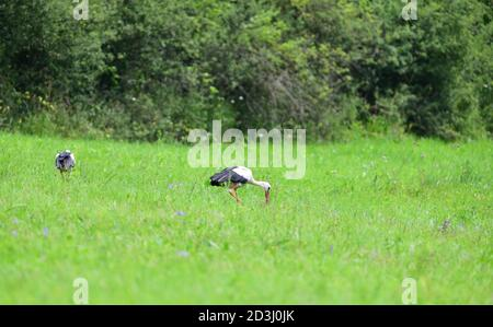 White stork looking for food on green meadow in spring - Stock Photo