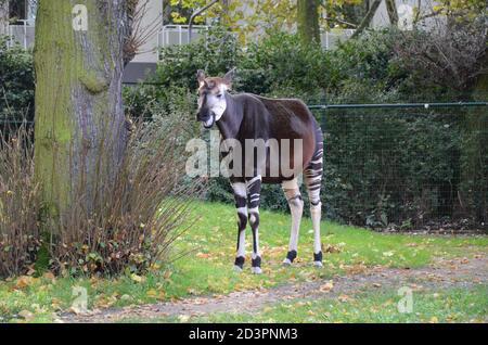 Portrait of okapi (Okapia johnstoni) - Stock Photo