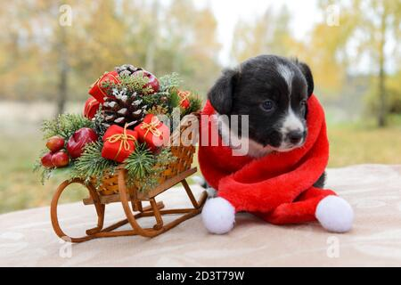 funny welsh corgi pembroke puppy with sled