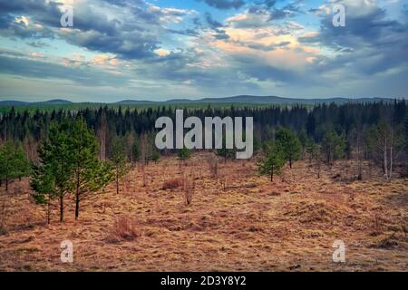 Early spring landscape in a young spruce forest. Green young fir in the forest against the background of blue sky and clouds.