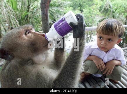 A primary school student watches a stray monkey drinks his bottle of yoghurt, after it was taken from him during lunchtime at a school in Samul Songkram province, 80 km southwest of Bangkok May 29, 2001. About 100 pupils at Ban Chu Chee Primary School have been robbed of food by over 150 monkeys, whose mangrove habitat has constantly been encroached by human beings for over a year.  NWA/DL - Stock Photo