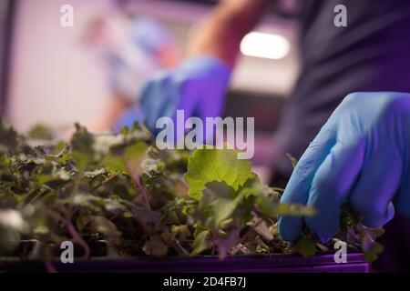 Harvesting crops of salads and herbs, which will be given aay free to local people and community groups as a temporary response to the current helath pandemic, which have been growing in the vertical farming warehouse at Intelligent Growth Solutions Ltd, based beside the James Hutton Institute, in Invergowrie, Scotland, on 20 July 2020.
