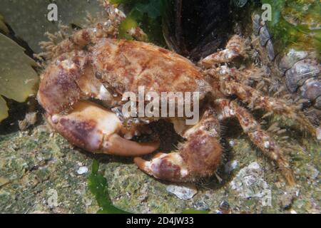 Hairy crab (Pilumnus hirtellus) among seaweed fronds in a rock pool, The Gower, Wales, UK, August. - Stock Photo