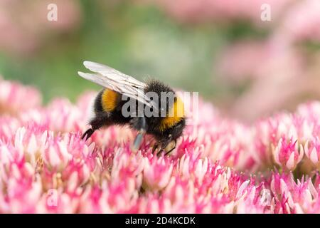 Macro photography of a bumblebee feeding from a red clover flower.