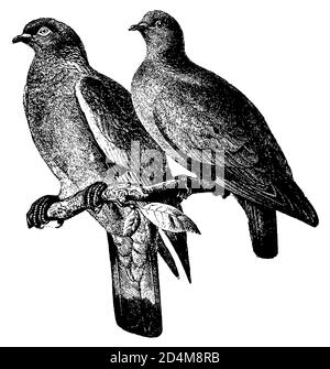 19th-century engraving of two pigeons on a branch (isolated on white). Published in Systematischer Bilder-Atlas zum Conversations-Lexikon, Ikonographi