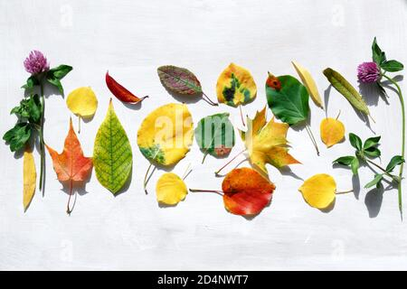 Autumn leaves of various trees are laid out on the surface. Bright red, yellow and green foliage for the herbarium. Autumn Golden time. - Stock Photo
