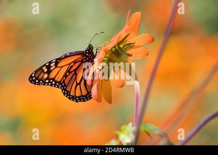 Beautiful monarch butterfly seen from below resting on an orange flower. - Stock Photo