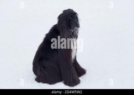 Cute afghan hound is sitting on white snow in the winter park. Pet animals. Purebred dog.