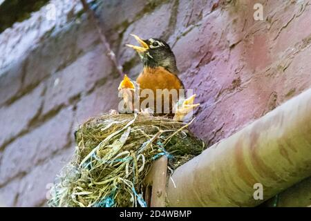 Adult American Robin, Turdus migratorius, with three chicks in nest, appearing to sing with beaks open, New York City, USA