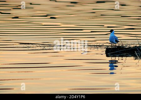 Black-headed gull sits on the shore of the lake, reflecting in the water colored by the sunset sky. Bird close up. - Stock Photo