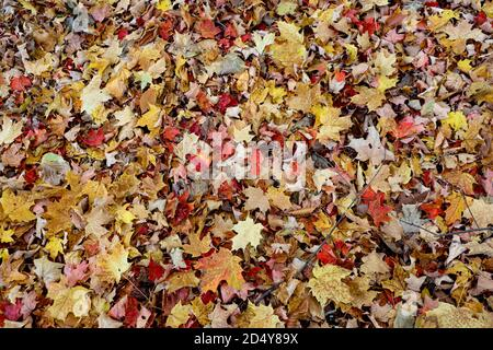 Background, texture, or material image showing Vermont's fall foliage covering the ground. Colorful leaves spread across the image uniformly.